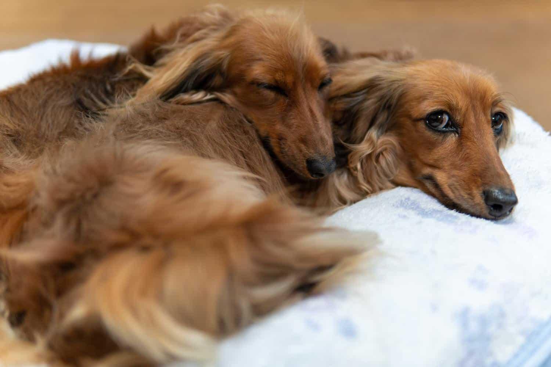 Orthopädisches Hundebett mit 2 Dackeln