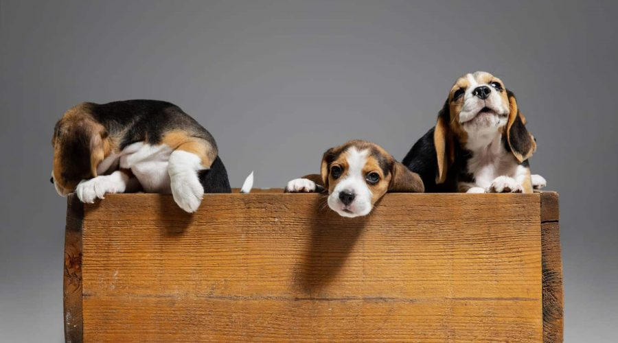 Beagle tricolor puppies are posing in wooden box. Cute doggies or pets playing on grey background. Look attented and playful. Studio photoshot. Concept of motion, movement, action. Negative space.